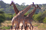 African giraffes - Study abroad in Africa