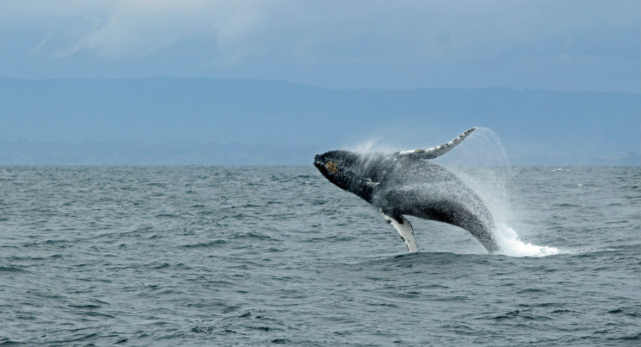 Leaping whale