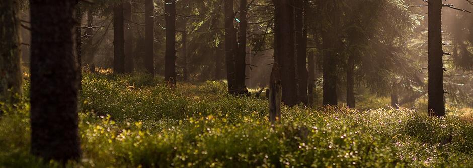 Kuvassa metsää, johon auringonvalo tulee oksien lomasta