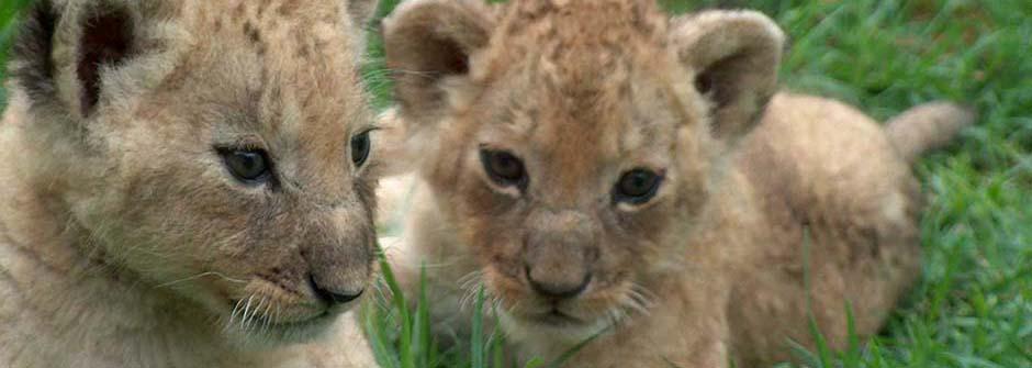 Lion Centre | Zimbabwe