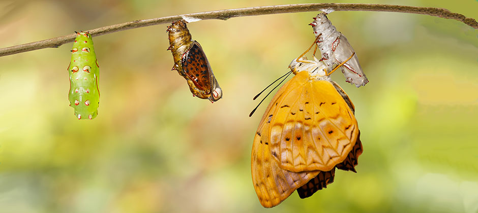 Förändring från larv till puppa till fjäril