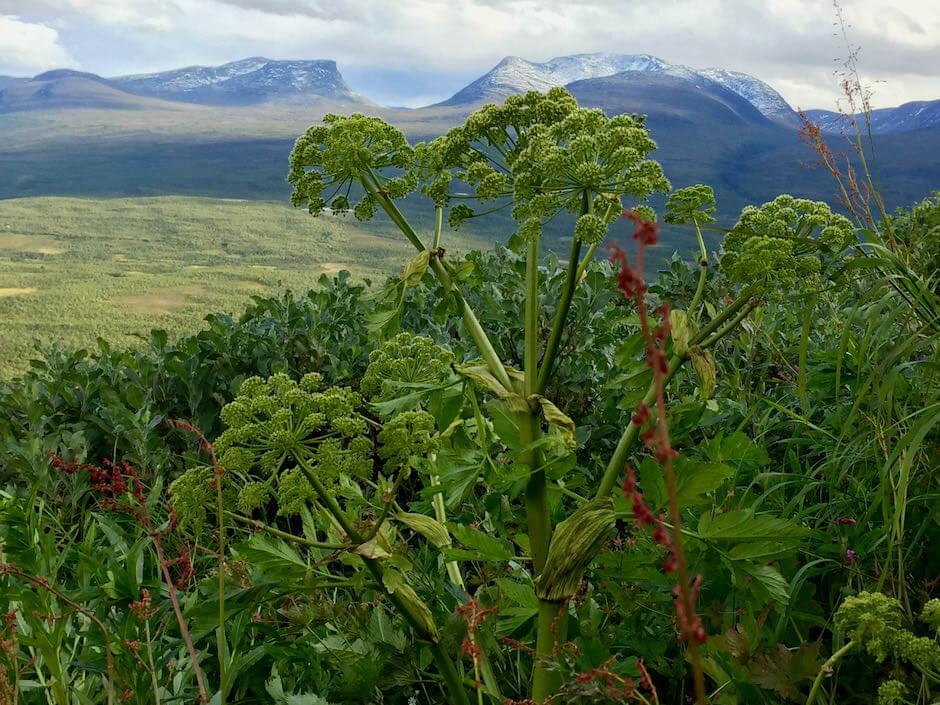 Ätbara växter - fjällvandring